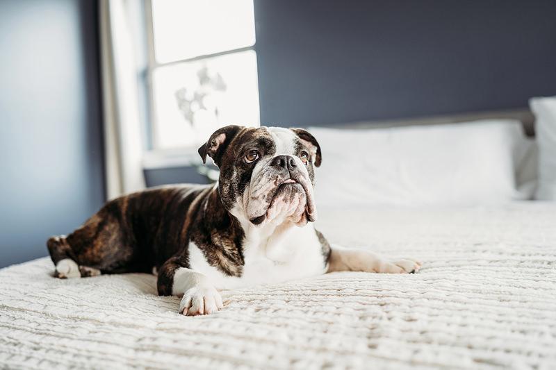 alex morris design, denver newborn photographer, baby lifestyle in home photos bulldog